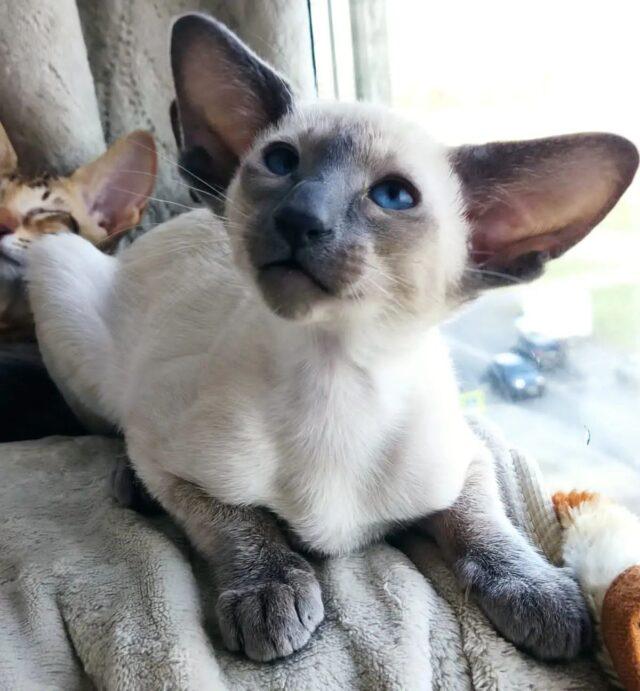 ▪︎174male-SIAa SOLD Сиамский котик окраса блю-пойнт, возраст 3 мес., ценовая категория High  WhatsApp +79162229975 #siaorimaniaall#siaorimaniasiaall#siaorimaniasia#siaorimaniam#siaorimania100110#siaorimaniahigh#siaorimaniaspb
