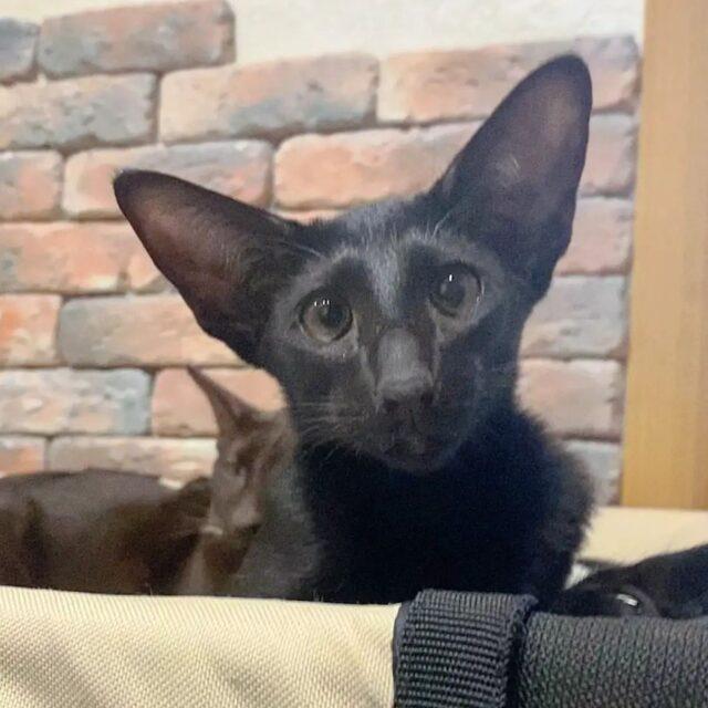 ▪︎230male-OSHn Ориентальный котик черного окраса, возраст 5 мес., ценовая категория Middle  WhatsApp +79162229975 #siaorimaniaall#siaorimaniasol#siaorimaniaoshn#siaorimaniam#siaorimania6575#siaorimaniamiddle#siaorimaniamos#siaorimaniaready