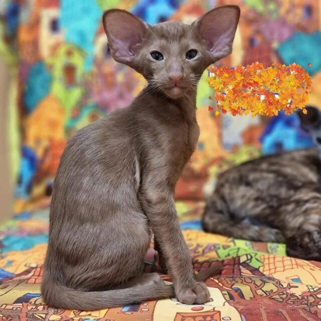 ▪︎260male-OSHb   Ориентальный котик шоколадного окраса, возраст 3 мес., ценовая категория High  WhatsApp +79162229975 #siaorimaniaall#siaorimaniasol#siaorimaniaoshb#siaorimaniam#siaorimania150160#siaorimaniahigh#siaorimaniaspb
