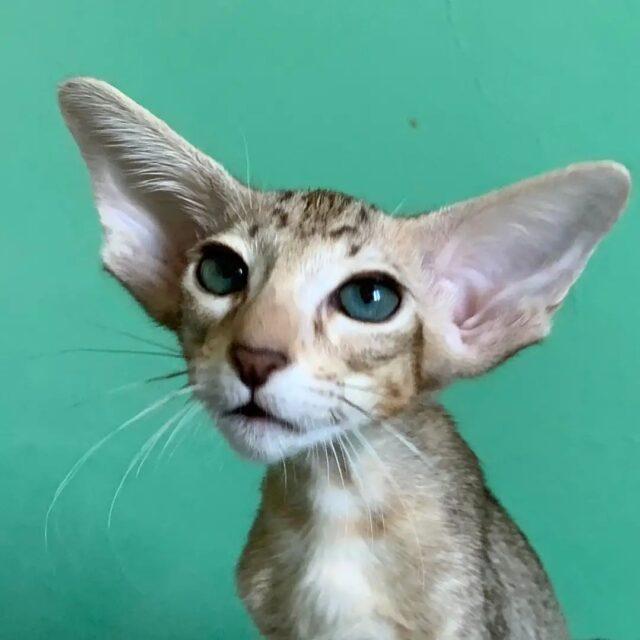 ▪︎155male-OSHb24  Ориентальный котик пятнистого окраса, возраст 3 мес., ценовая категория High  WhatsApp +79162229975 #siaorimaniaall#siaorimaniatab#siaorimaniaosh24#siaorimaniam#siaorimania8090#siaorimaniahigh#siaorimaniamos