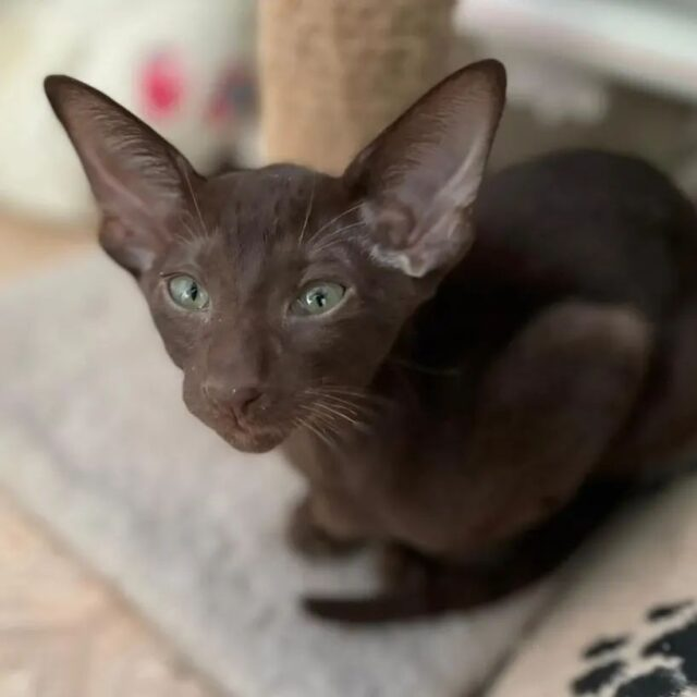 ▪︎355male-OSHb   Ориентальный котик шоколадного окраса, возраст 3 мес., ценовая категория Middle  WhatsApp +79162229975 #siaorimaniaall#siaorimaniasol#siaorimaniaoshb#siaorimaniam#siaorimania5060#siaorimaniamiddle#siaorimaniavladivostok