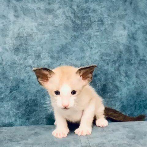 ▪︎135male-SYSn03 Сиамский котик биколорного окраса, возраст 1 мес., ценовая категория High  WhatsApp +79162229975 #siaorimaniaall#siaorimaniasiaall#siaorimaniasys#siaorimaniam#siaorimania8090#siaorimaniahigh#siaorimaniamagnitogorsk