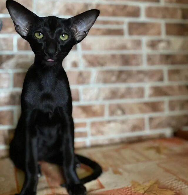 ▪︎156female-OSHn  Ориентальная кошечка черного окраса, возраст 5 мес., ценовая категория High  WhatsApp +79162229975 #siaorimaniaall#siaorimaniasol#siaorimaniaoshn#siaorimaniaf#siaorimania8565#siaorimania8595#siaorimaniaizevsk#siaorimaniaready