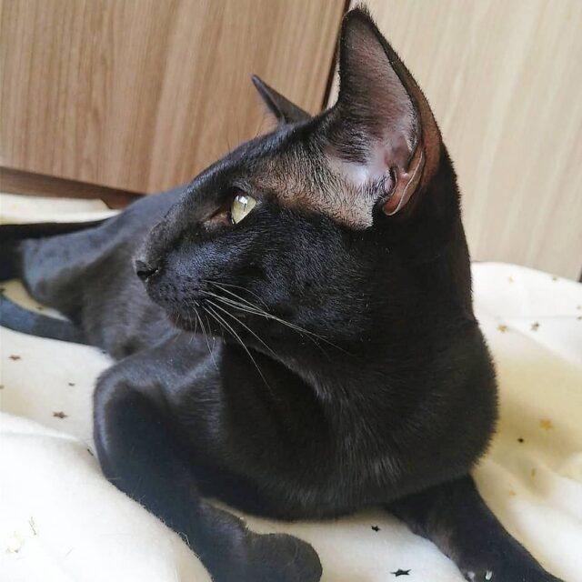 ▪︎460male-OSHn  Ориентальный котик черного окраса, возраст 7 мес., ценовая категория Middle  WhatsApp +79162229975 #siaorimaniaall#siaorimaniatab#siaorimaniaoshn#siaorimaniam#siaorimania4555#siaorimaniamiddle#siaorimaniapenza#siaorimaniaready