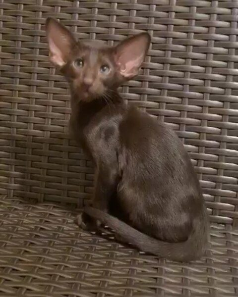▪︎107male-OSHb SOLD Ориентальный котик шоколадного окраса, возраст 2 мес., ценовая категория High  WhatsApp +79162229975 #siaorimaniaall#siaorimaniasol#siaorimaniaoshb#siaorimaniam#siaorimania8090#siaorimaniahigh#siaorimaniasmolensk