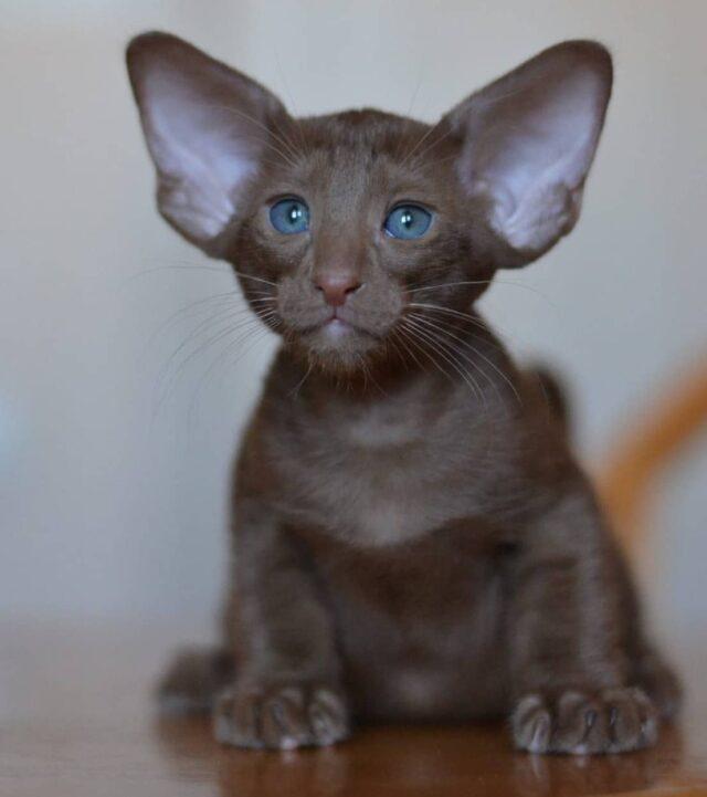 ▪︎213male-OSHo  Ориентальный котик  окраса циннамон, возраст 1,5 мес., ценовая категория High  WhatsApp +79162229975 #siaorimaniaall#siaorimaniasol#siaorimaniaosho#siaorimaniam#siaorimania115125#siaorimaniahigh#siaorimaniacheliabinsk